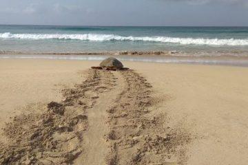 Tartaruga na lha de Santa Luzia, Cabo Verde