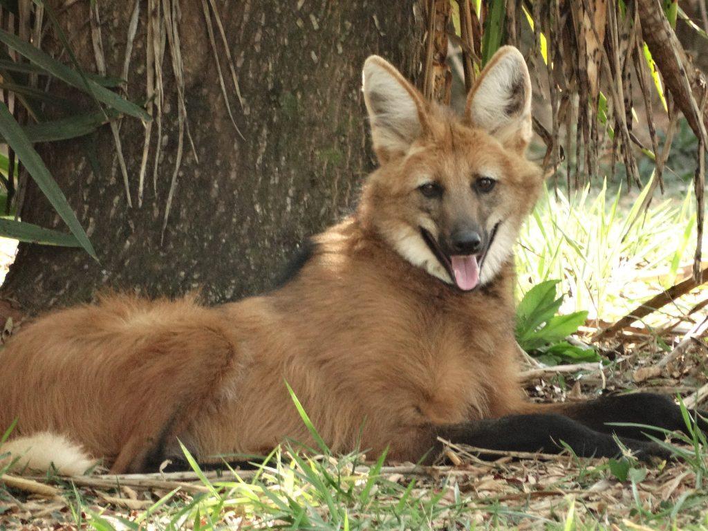 pantanal lobo guara