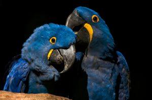Arara-azul pantanal