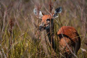Cervo-do pantanal fêmea