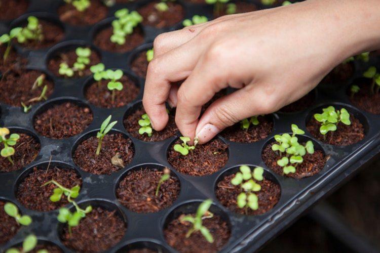 sementes vivas